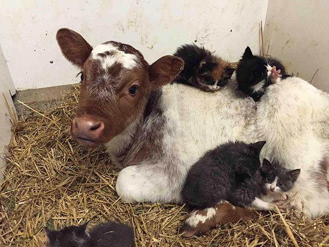 cows-and-cats-lovers-since-birth