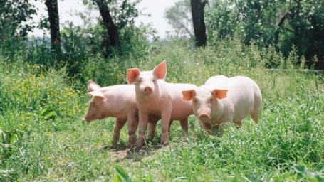 group-pigs-called_4b3fc90d7588edb7