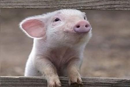 pigs_natural_life